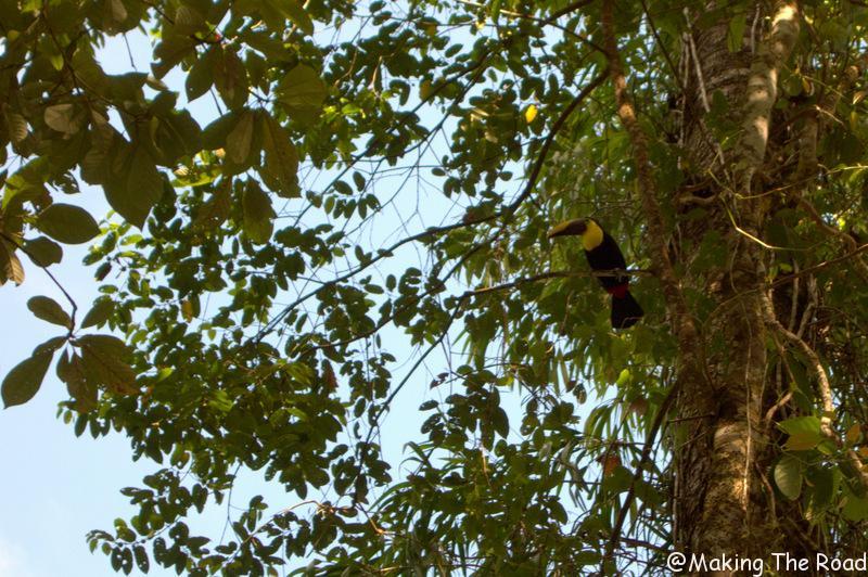 costa rica - bahia drake - toucan