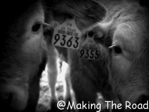 vaches de la ferme Oustalet